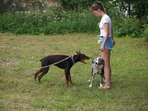 Как приучить собаку к поводку, доберман, бордер-колли, бордерколи.