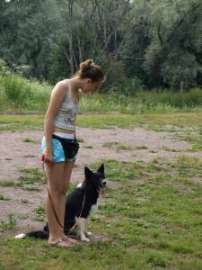 Приучение собак к поводку, бордер-колли.